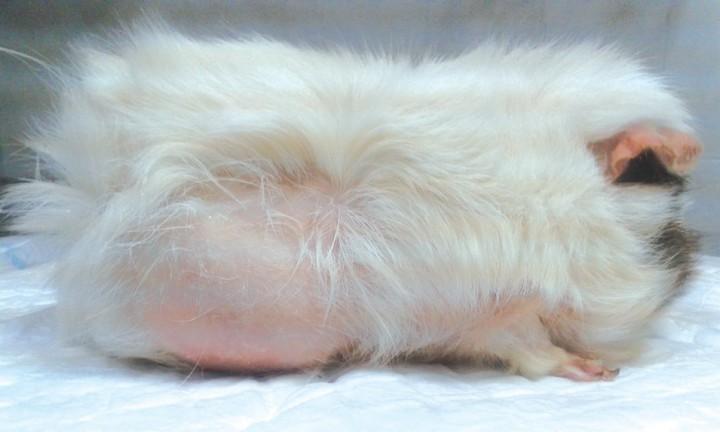Alopecia en dorso y flancos en cobayas (<i>Cavia porcellus</i>): dos ...